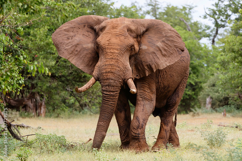 canvas print motiv - henk bogaard : Elephant bull walking in the Kruger National Park in the green season in South Africa