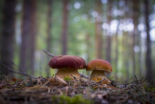 Two Cep Mushrooms Grows In Forest