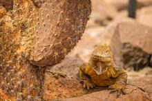 Yellow Galapagos Land Iguana U...