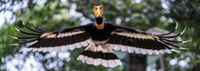 Great Hornbill Flying In The Air.