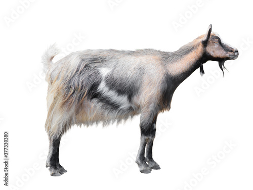 Stampa su Tela goat (Carpathian mountain) isolated on white background.