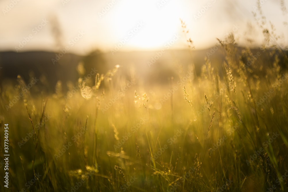 Fototapeta Green grass in a forest at sunset. Blurred summer nature background.