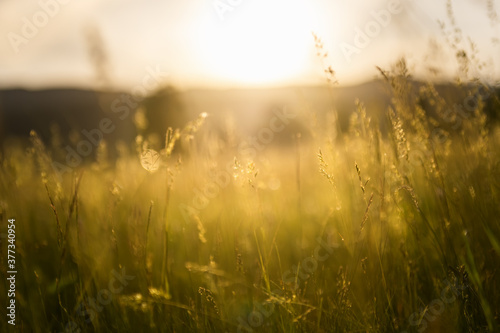 Fototapeta Green grass in a forest at sunset. Blurred summer nature background. obraz