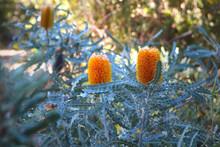 Orange Flower Spikes And Serrated Leaves Of Banksia Ashbyi A Shrub Endemic To Western Australia