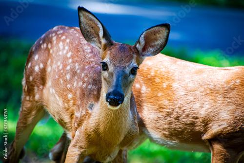 Photo Deer bambi fawn