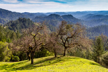 Four Oaks - A Group Of Oak Trees Share A Spectacular Hilltop View. Armstrong Woods State Natural Reserve, Guerneville, California, USA