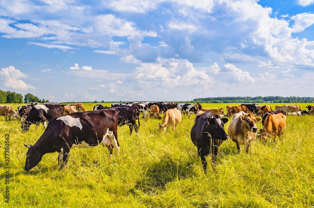 Fototapeta Cows grazing on the field in a summer sunny day. Moscow region, Russia.