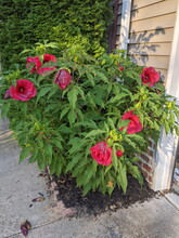 A Bush Of Red Large Hibiscus Flowers Bush.