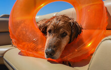 Tired Dog With An Inflatable Pool Toy. Resting After A Day Swimming At The Lake