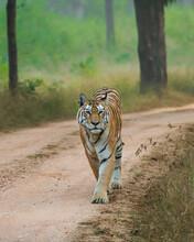 Tiger In The Wild Patrolling Territory