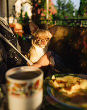 Chihuahua Sitting At The Table In The Owner's Arms