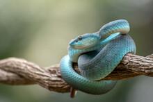 Trimeurus Insularis Blue Is A ...