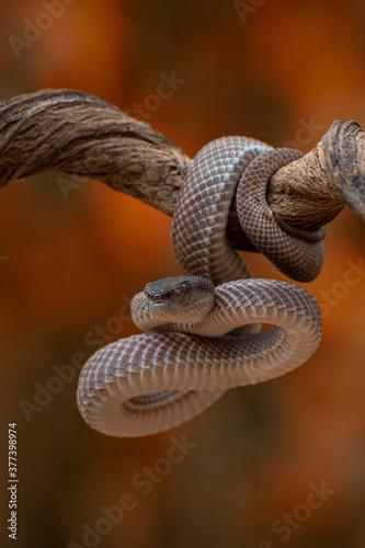 Fototapeta Trimeresurus purpureomaculatus is a venomous pit viper species native