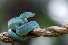 Trimeurus Insularis Blue Is A Venomous Snake From Indonesia