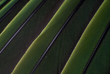 A Macro Shot Of Green Colorful Parakeet Feathers, Bird Anatomy