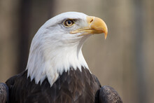 A Portrait Of An American Bald...