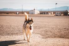 A Dog Near The Amboy Motel On Highway 66, California
