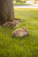 Cute European Rabbits Grazing ...