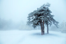 Beautiful  Winter Tree In Fog.