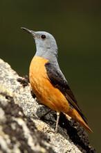 Rufous-tailed Rock Thrush Male, Monticola Saxatilis