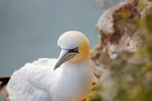 Northern Garnet Sat On Its Nest At Bempton Cliffs North Yorkshire,UK