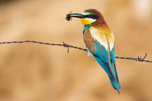 A European Bee Eater (Merops Apiaster) Perched On A Barbed Wire With An Insect In Its Beak. Horizontal Shot On An Unfocused Ocher Background.