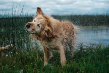 Soaking Golden Retriever Dog C...