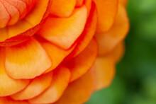 Macro Of Orange Ranunculus Pet...