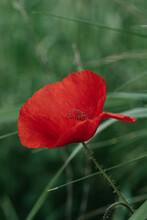 Single Vivid Red Corn Poppy Growing In A Field
