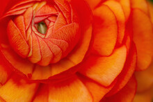 Macro Of Vibrant Orange-red Ranunculus Flower Center