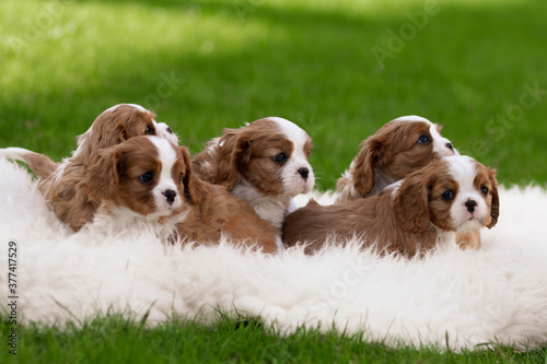 cavalier king charles spaniel puppies Canvas Print
