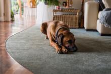 Sad Dog On Carpet