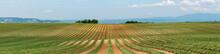 Lavender Field After Harvest