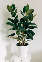 Large Ficus In The White Pot