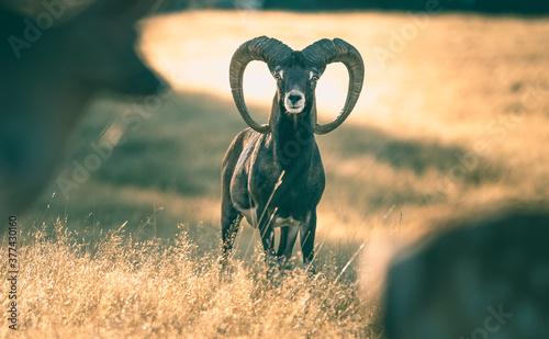 Sunrise Mouflon Sheep Fototapet