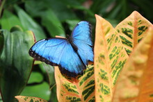 Blue Morpho Butterfly On A Leaf