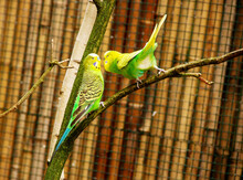 Two Yellow Green Budgerigars S...