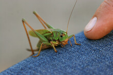 A Green Locust On Jeans, Close...