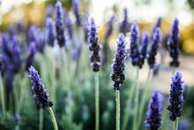 Morning Light Backlighting Purple Lavender Bush In Garden