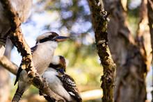 Pair Of Laughing Kookaburra Bi...