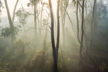 Rays Of Sunshine Breaking Through Fog Amongst Gumtrees