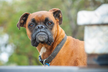 A Boxer Dog On Guard