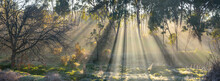 Rays Of Sunshine Breaking Through Morning Fog Amongst Gum Trees