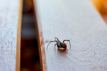 A Redback Spider Crawling Along A Wooden Table Top