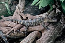 Baby Alligator On A Log