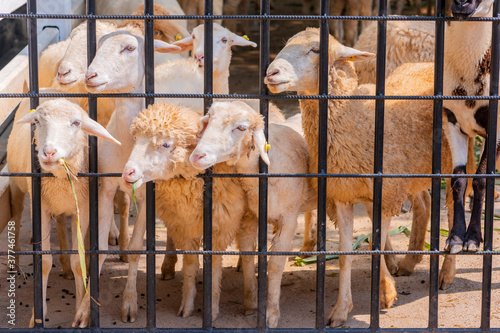 Photo Group of sheep standing in a steel cage in farm waiting for people to feed