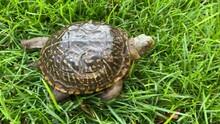 Western Box Turtle Walking