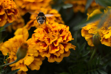 Beautiful Bumblebee Flight. Flowerbed With Marigolds On The Background.