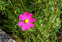 The Beautiful Deep Pink Cosmos Flower In Sapporo Japan