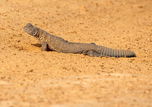 Spiny Tailed Lizard In The Desert Of Pakistan